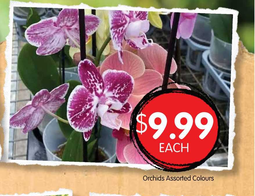 Spudshed Orchids Assorted Colours