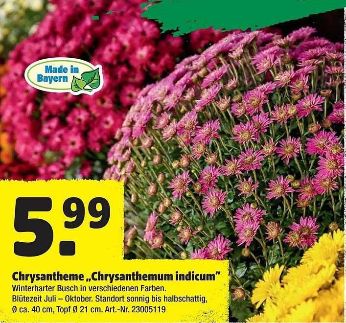 "Hagebaumarkt Chrysantheme ""chrysanthemum Indicum"""