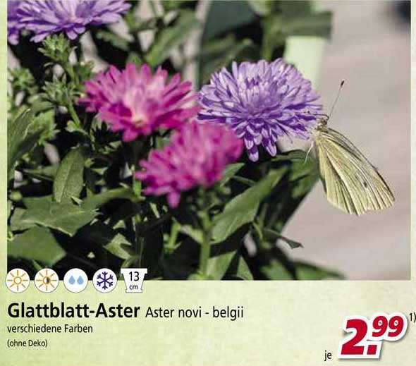 BauSpezi Glattblatt-aster