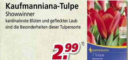 BauSpezi Kaufmanniana-tulpe