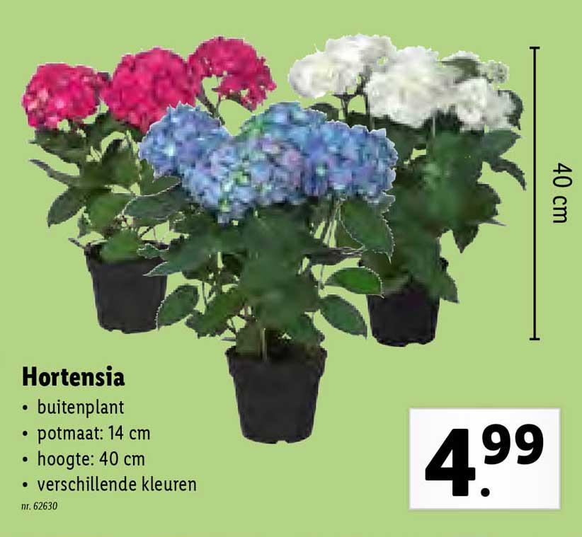 Lidl Hortensia