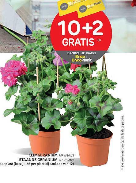 Brico Klimgeranium Of Staande Geranium