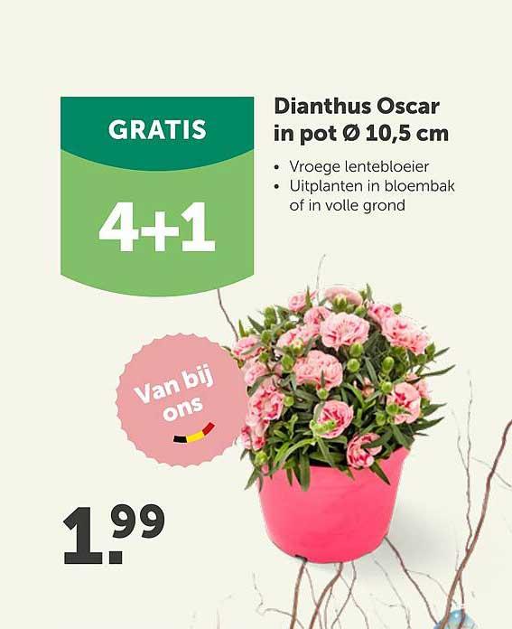 Aveve Dianthus Oscar In Pot Ø 10.5 Cm 4+1 Gratis
