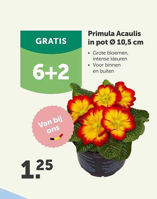 Aveve Primula Acaulis In Pot Ø 10.5 Cm 6+2 Gratis