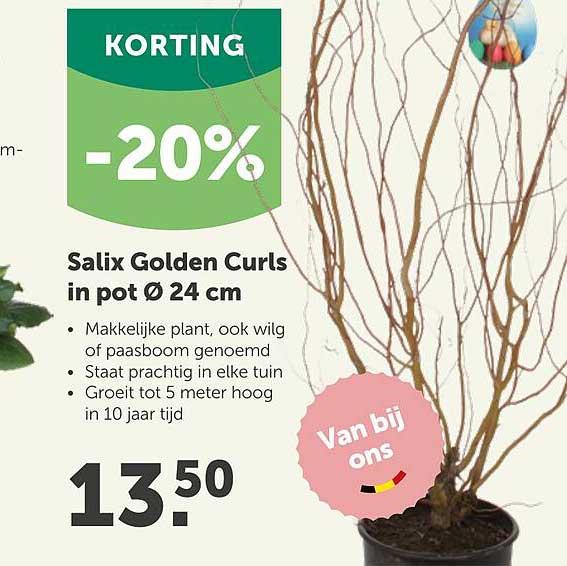 Aveve Salix Golden Curls In Pot Ø 24 Cm -20% Korting