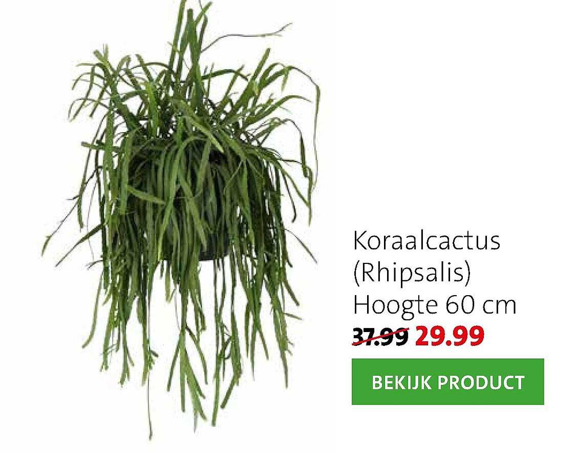 Intratuin Koraalcactus (Rhipsalis)