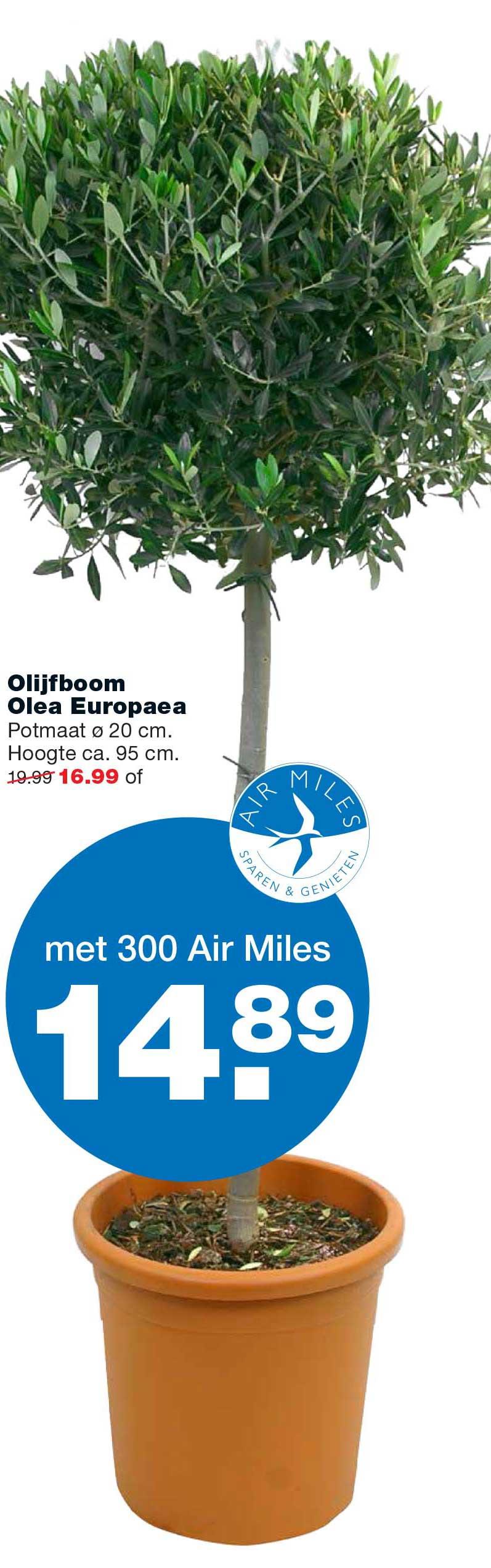 Praxis Olijfboom Olea Europaea