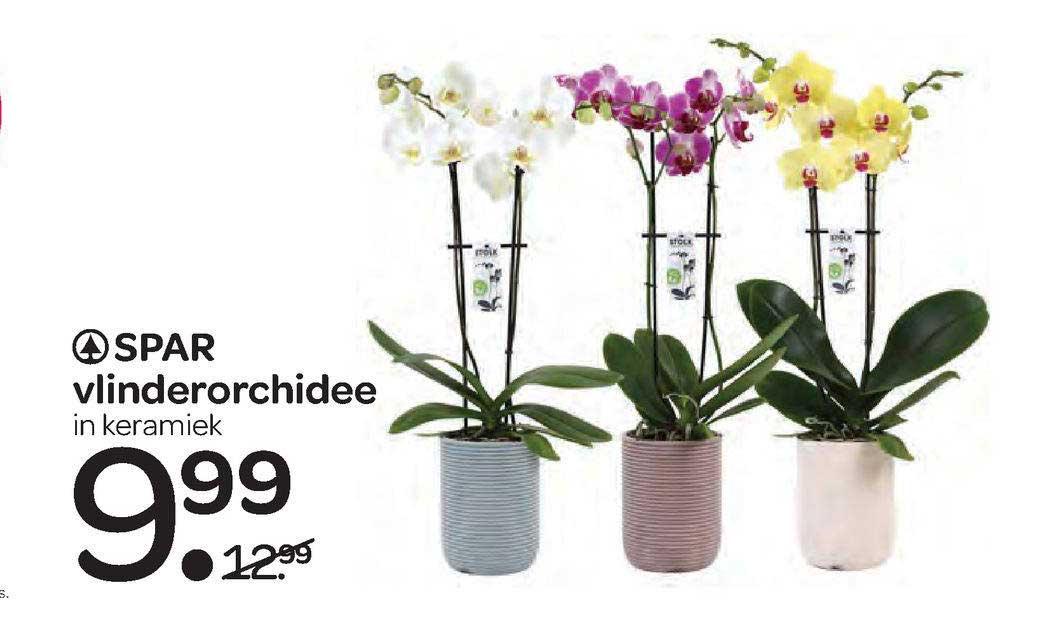 Spar Spar Vlinderorchidee