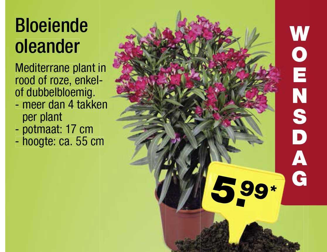 ALDI Bloeiende Oleander