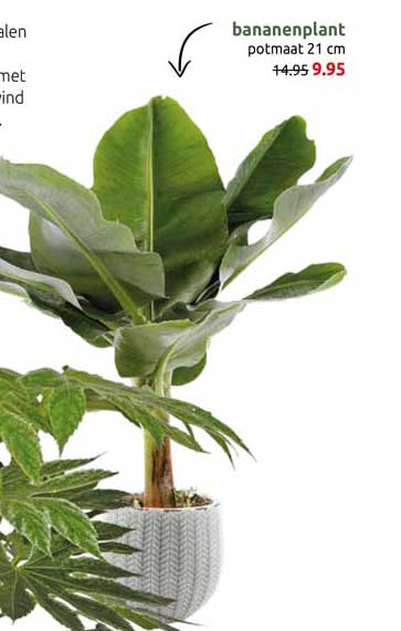 DekaTuin Bananenplant