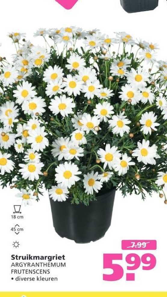 Ranzijn Tuin & Dier Struikmargriet Argyranthemum Frutenscens