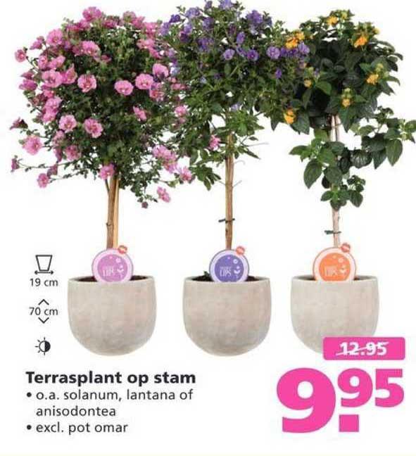 Ranzijn Tuin & Dier Terrasplant Op Stam : Solanum, Lantana Of Anisodontea