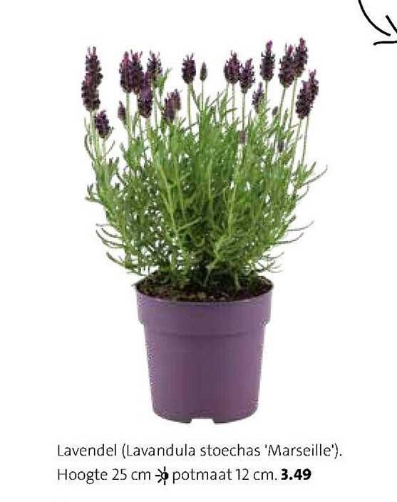Intratuin Lavendel (Lavandula Stoechas 'Marseille')