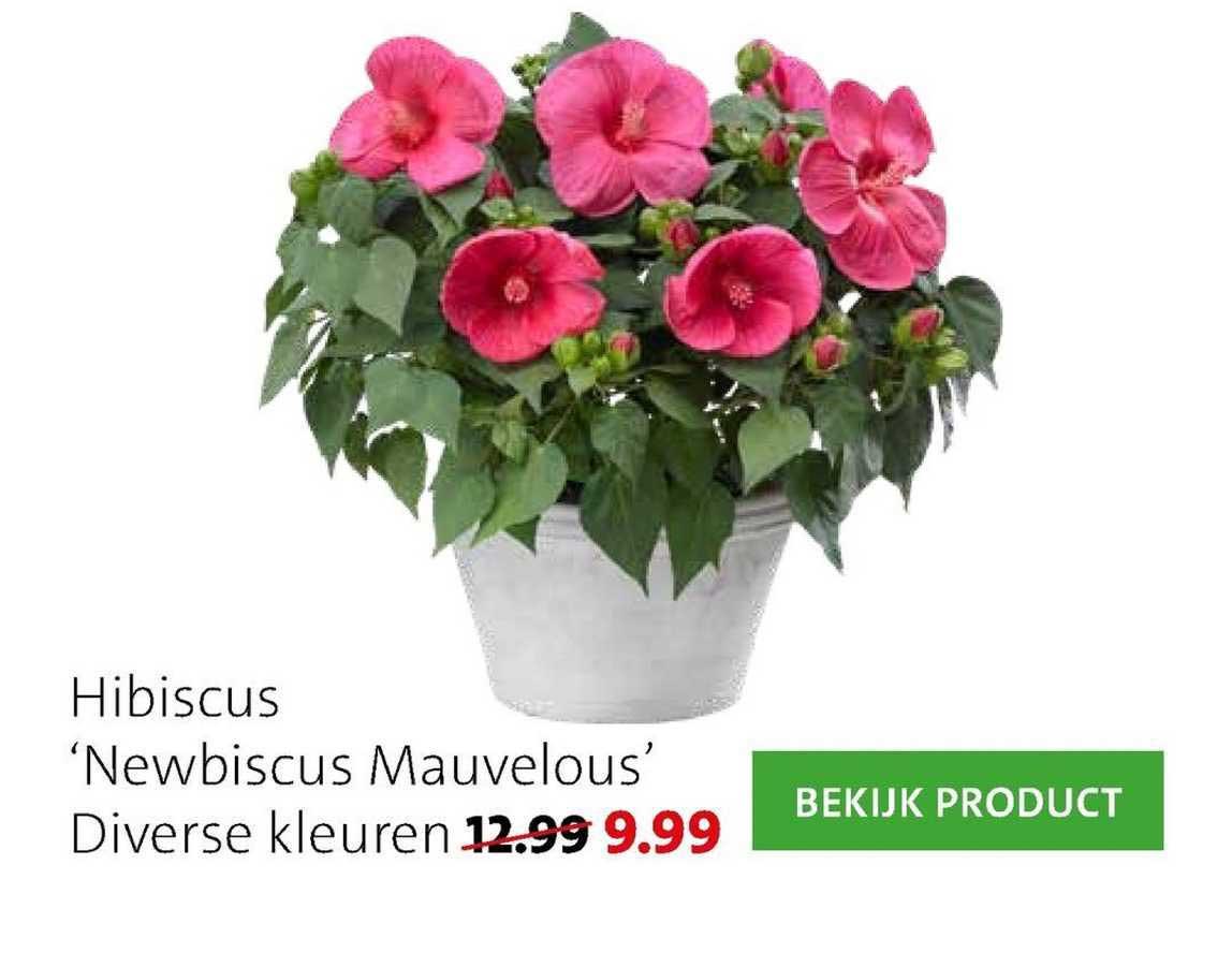 Intratuin Hibiscus 'Newbiscus Mauvelous'