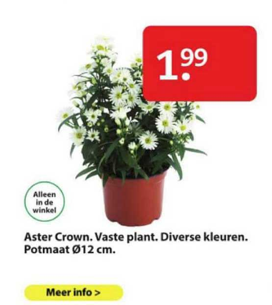 Boerenbond Aster Crown. Vaste Plant