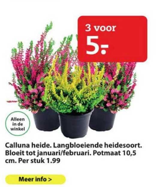 Boerenbond Calluna Heide. Langbloeiende Heidesoort.