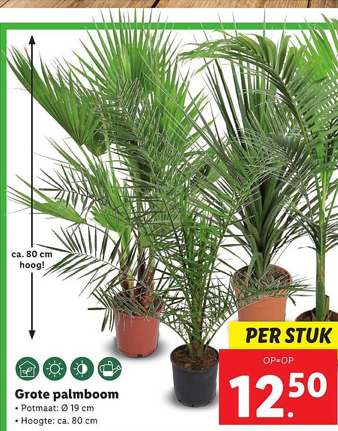 Lidl Grote Palmboom