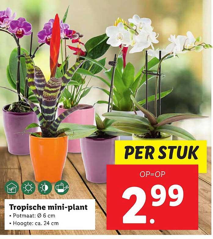 Lidl Tropische Mini-Plant