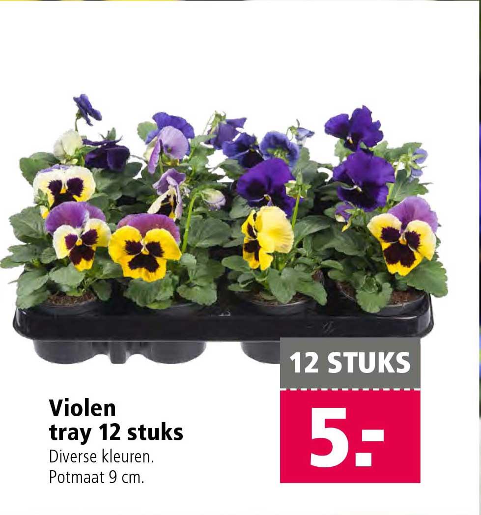 Welkoop Violen Tray 12 Stuks: €5,-