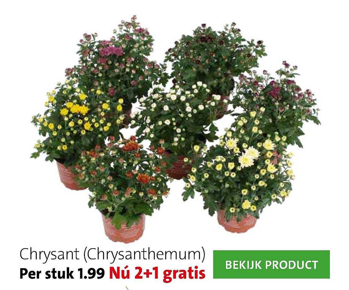 Intratuin Chrysant (Chrysanthemum)