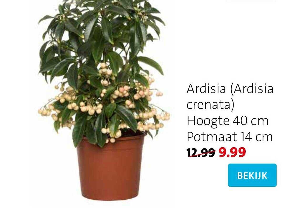 Intratuin Ardisia (Ardisia Crenata)