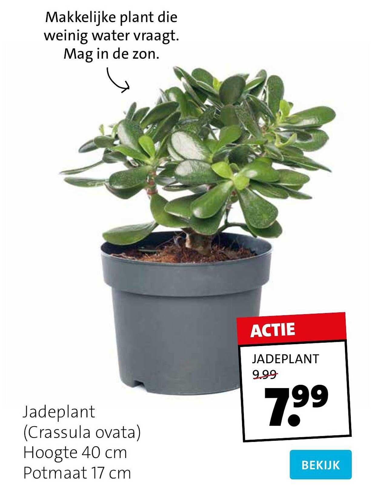 Intratuin Jadeplant (Crassula Ovata)