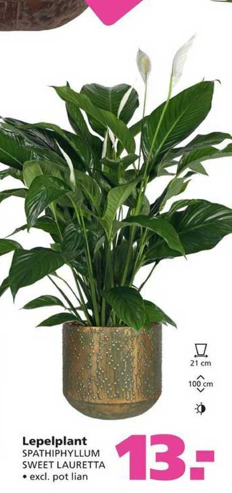 Ranzijn Tuin & Dier Lepelplant Spathiphyllum Sweet Lauretta