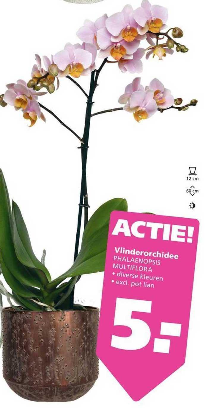 Ranzijn Tuin & Dier Vlinderorchidee Phalaenopsis Multiflora