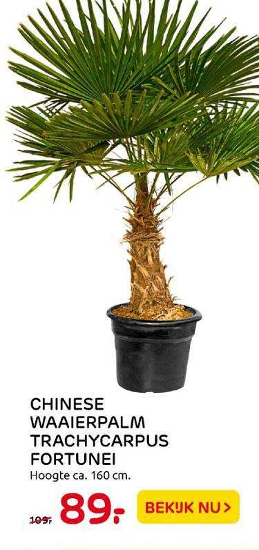 Praxis Tuincentrum Chinese Waaierpalm Trachycarpus Fortunei