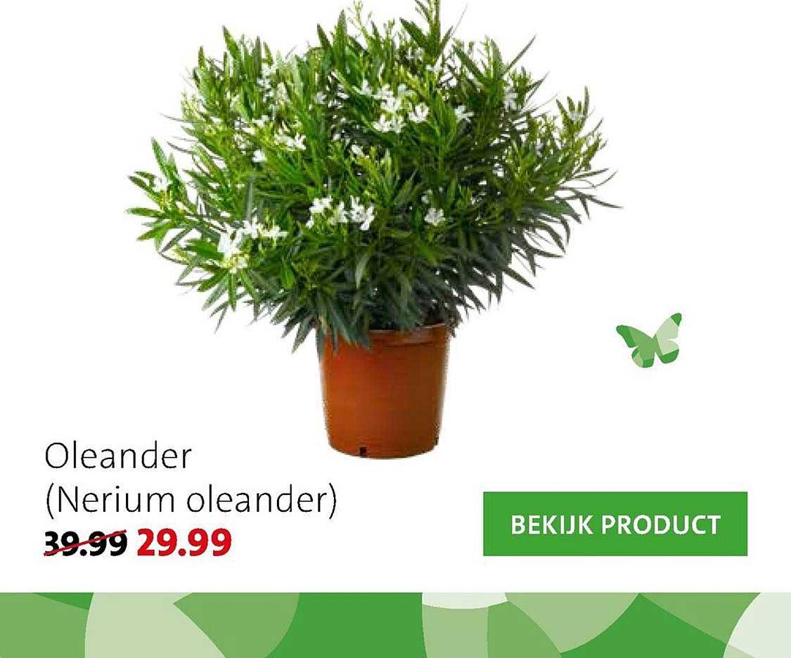 Intratuin Oleander (Nerium Oleander)