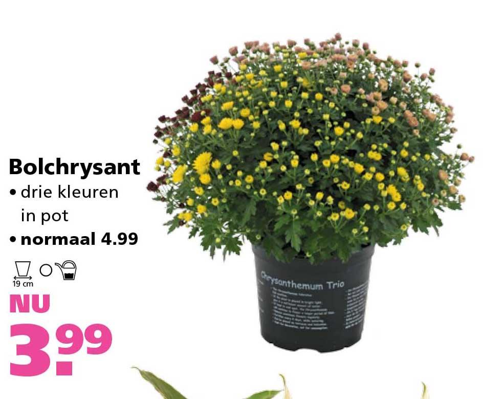 Ranzijn Tuin & Dier Bolchrysant