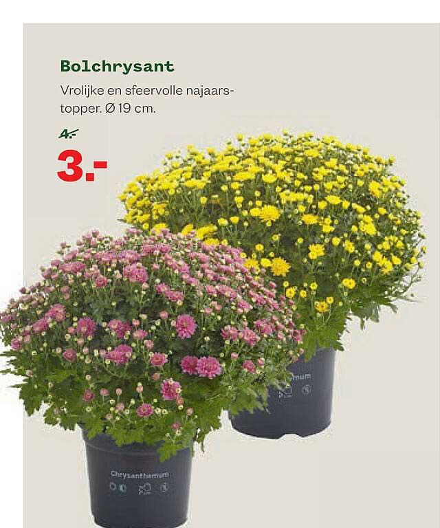 Welkoop Bolchrysant