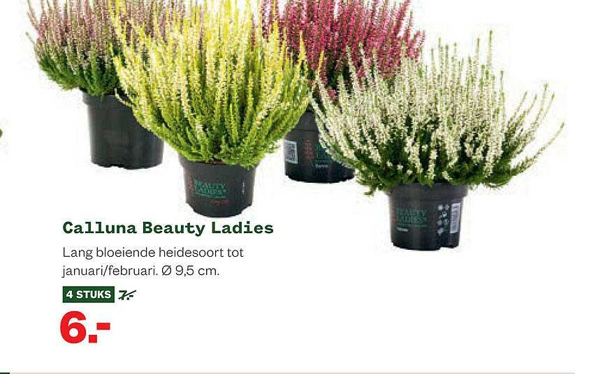 Welkoop Calluna Beauty Ladies