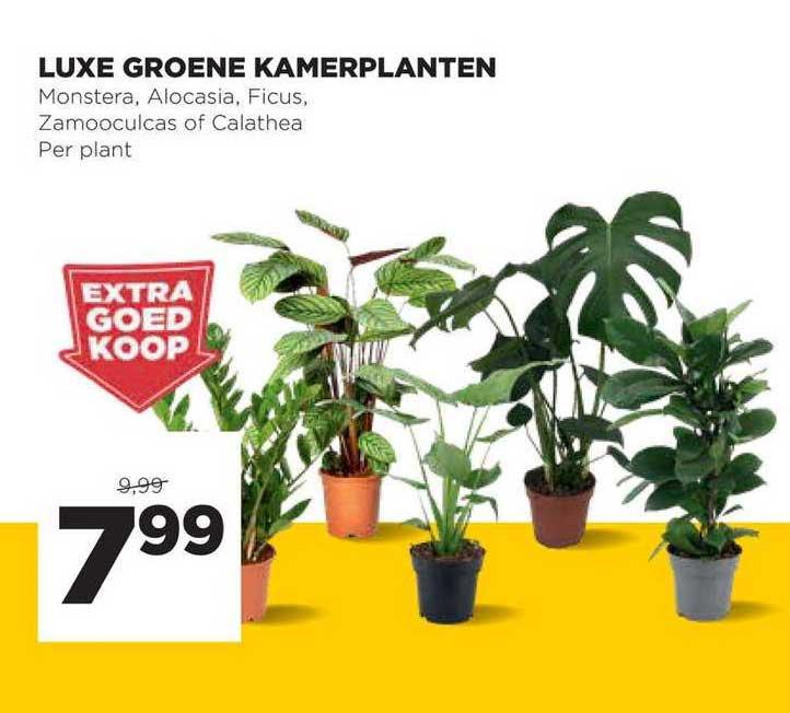 Jumbo Luxe Groene Kamerplanten