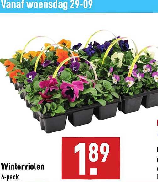 ALDI Winterviolen