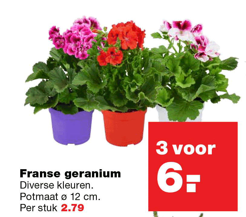 Praxis Franse Geranium: 3 Voor €6,-