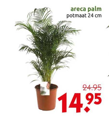 DekaTuin Areca Palm