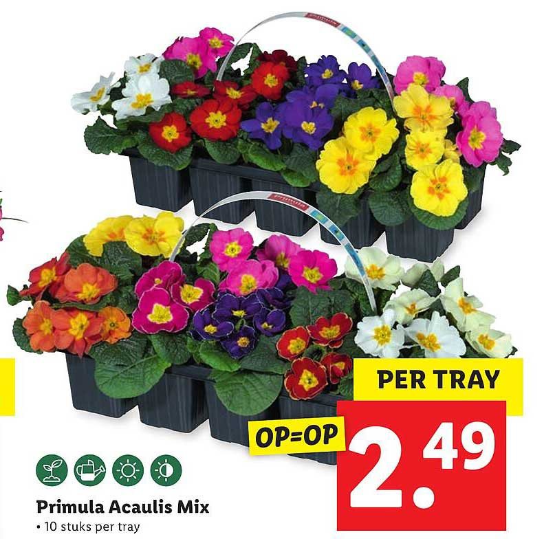 Lidl Primula Acaulis Mix