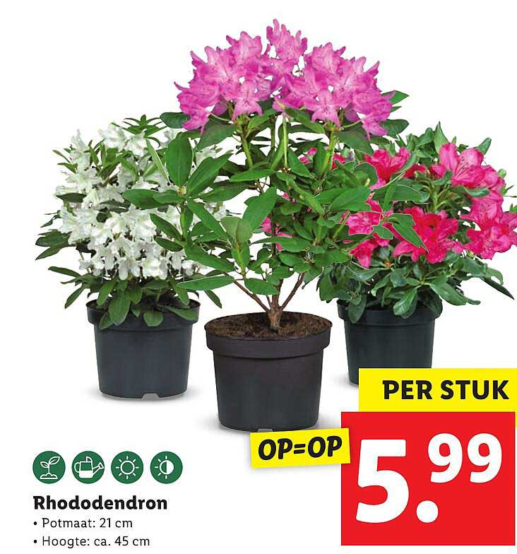 Lidl Rhododendron