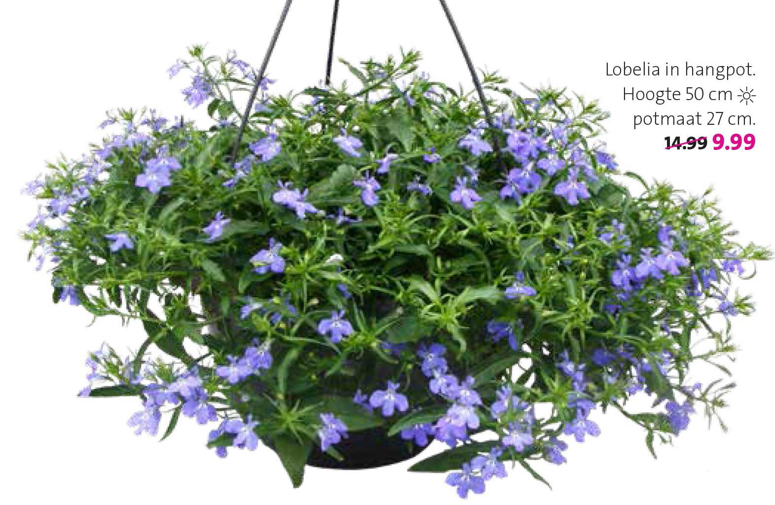 Intratuin Lobelia In Hangpot
