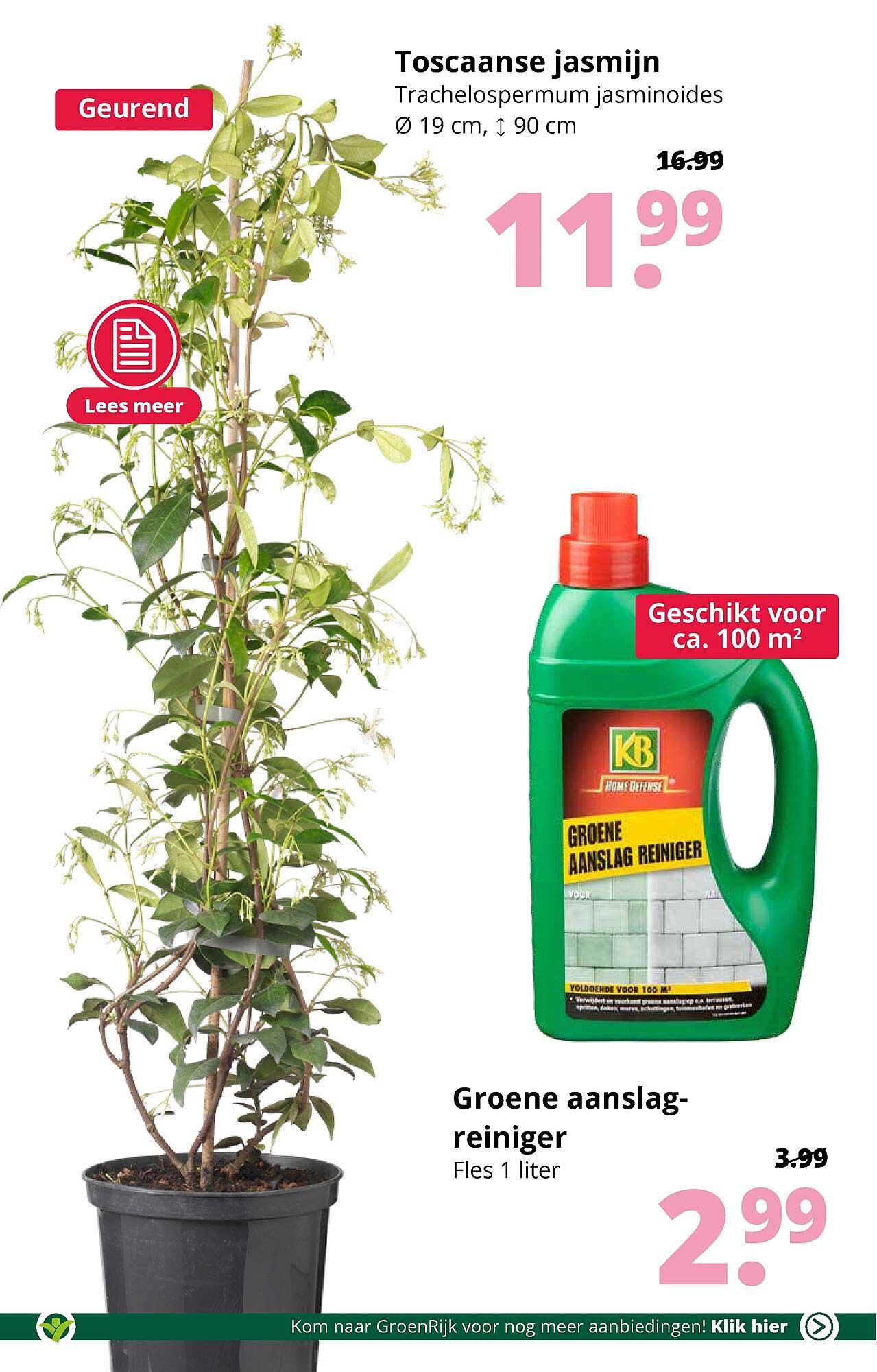 GroenRijk Toscaanse Jasmijn Trachelospermum Jasminoides Ø 19 Cm