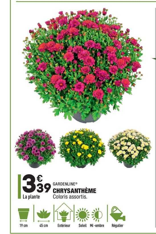 Aldi Chrysanthème Gardenline