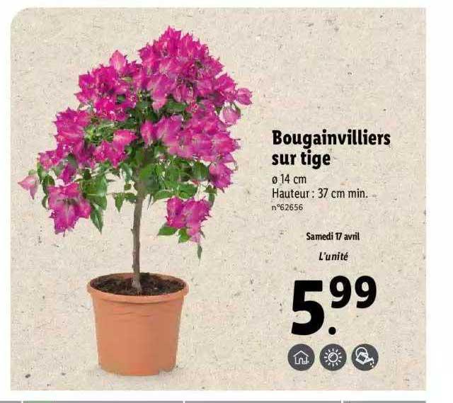 Lidl Bougainvilliers Sur Tige