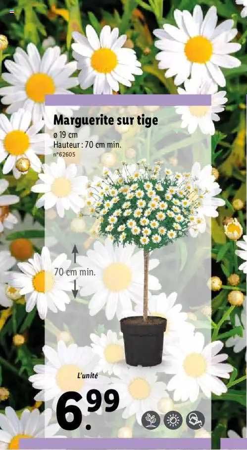 Lidl Marguerite Sur Tige