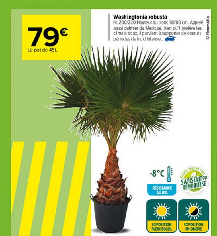 Carrefour Washingtonia Robusta