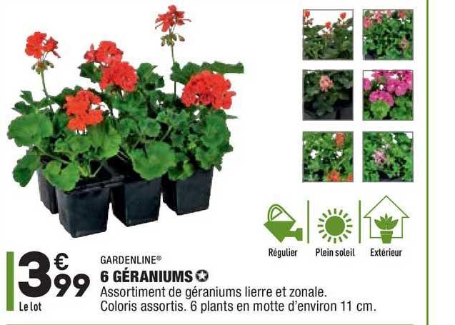 Aldi 6 Géraniums Gardenline