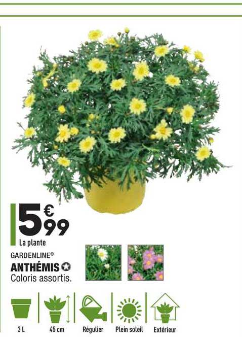 Aldi Anthémis Gardenline