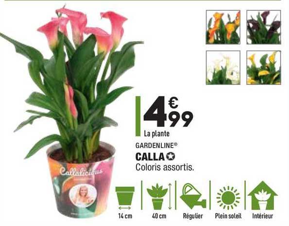 Aldi Calla Gardenline