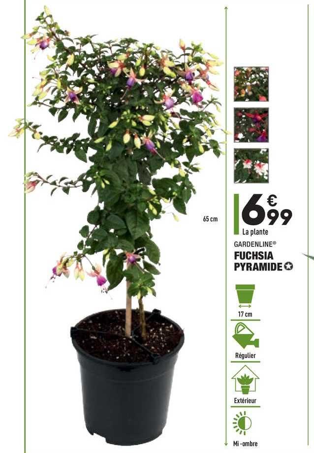Aldi Fuchsia Pyramide Gardenline