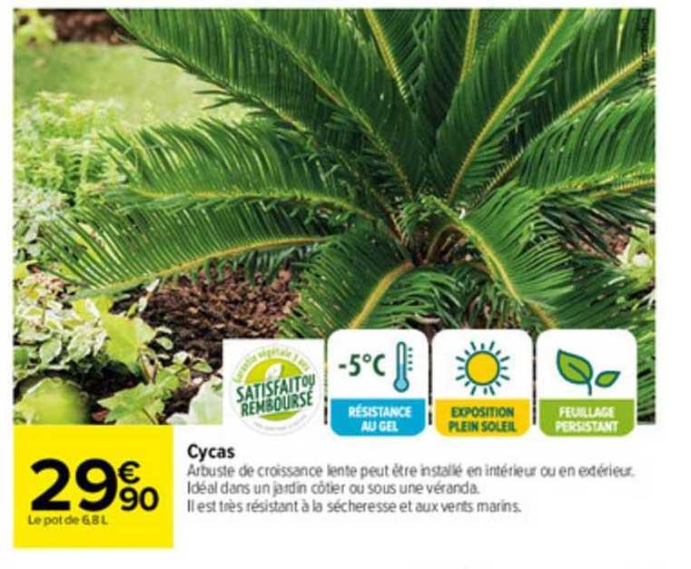 Carrefour Cycas